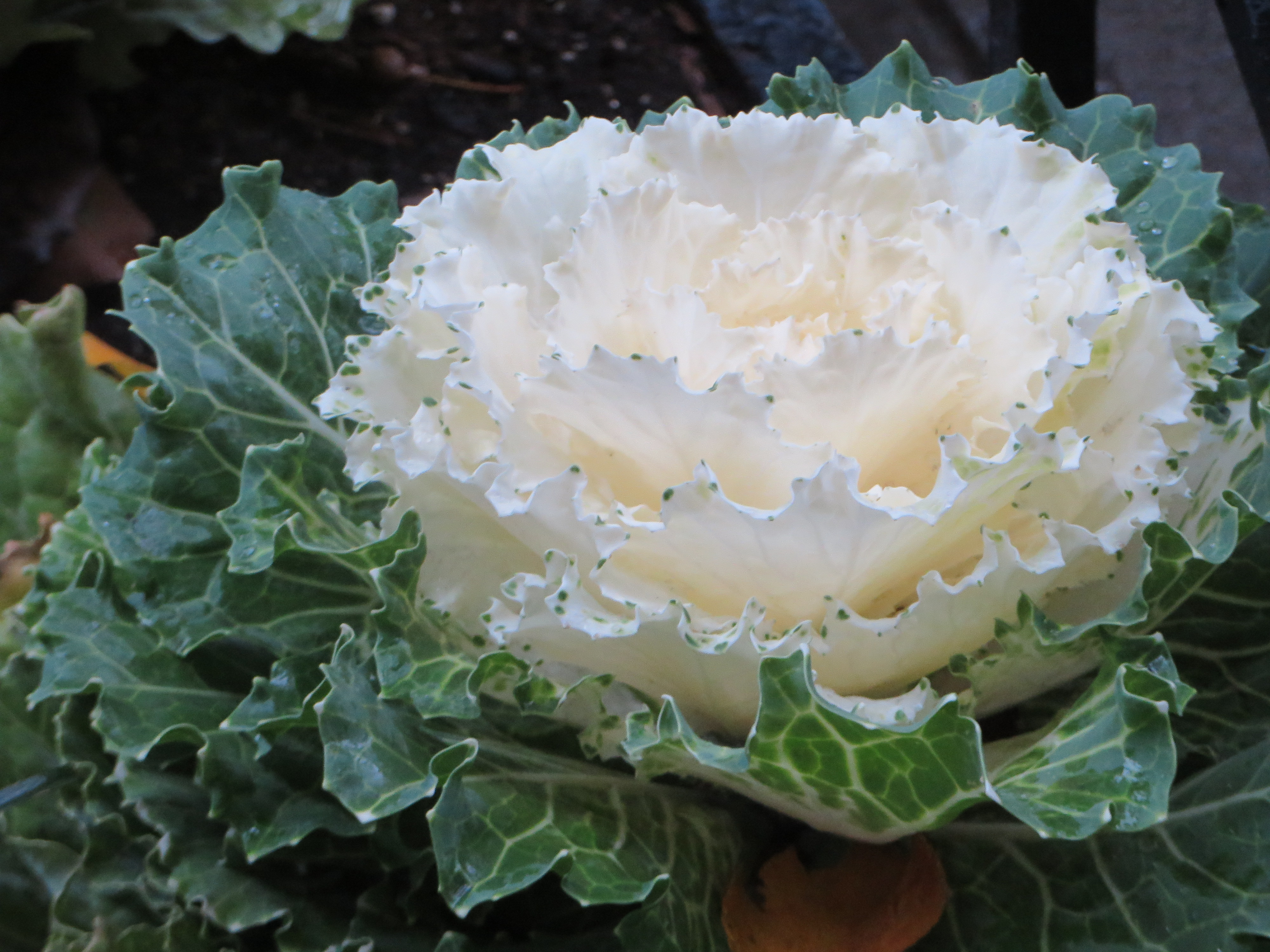 Ornamental Cabbage Flowering Kale Park Avenue Walk Jewish
