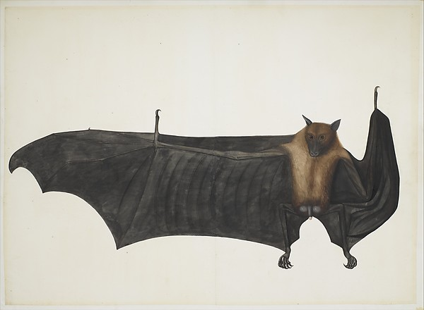 Bhawani Das Great Indian Fruit Bat, ca. 1777–82 Colonial British,  Pencil, ink, and opaque watercolor on paper; Painting: Ht. 23 1/2 in. (59.7 cm)                  W. 32 3/4 in. (83.2 cm) Mat size: Ht. 27 1/4 in. (69.2 cm)                  W. 35 1/2 in. (90.2 cm) The Metropolitan Museum of Art, New York, Purchase, Anonymous Gift, Cynthia Hazen Polsky Gift, Virginia G. LeCount Bequest, in memory of The LeCount Family, 2007 Benefit Fund, Louis V. Bell, Harris Brisbane Dick, Fletcher, and Rogers Funds and Joseph Pulitzer Bequest, and Gift of Dr. Mortimer D. Sackler, Theresa Sackler and Family,  2008  (2008.312) http://www.metmuseum.org/Collections/search-the-collections/456949